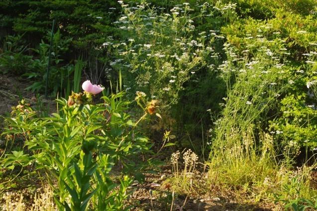 6月10日自宅の庭の花々_d0034980_20405998.jpg