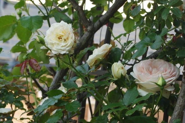 6月10日自宅の庭の花々_d0034980_20413553.jpg