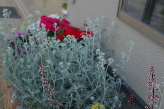 6月10日自宅の庭の花々_d0034980_20440478.jpg