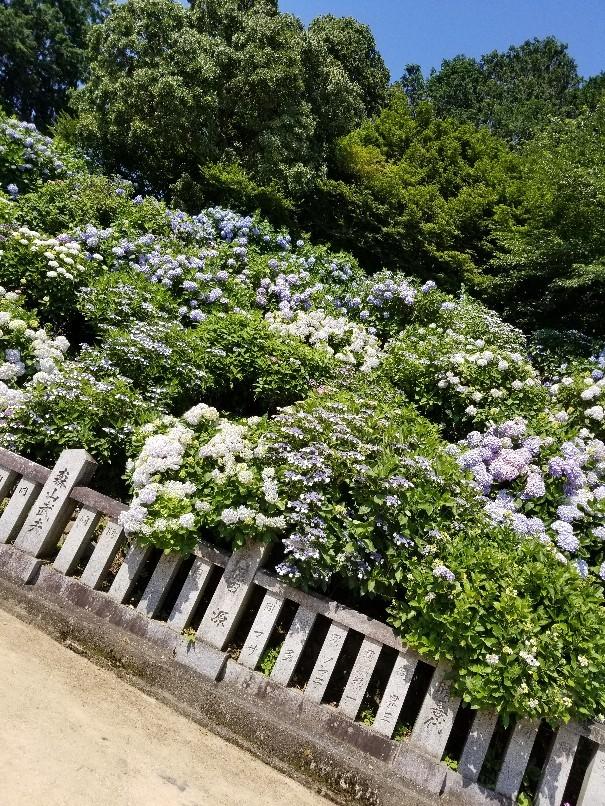 紫陽花の粟井神社へ行..._d0363587_16195071.jpg