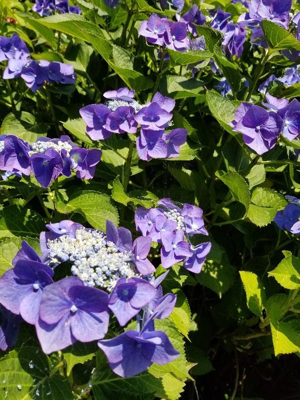 紫陽花の粟井神社へ行..._d0363587_16195106.jpg