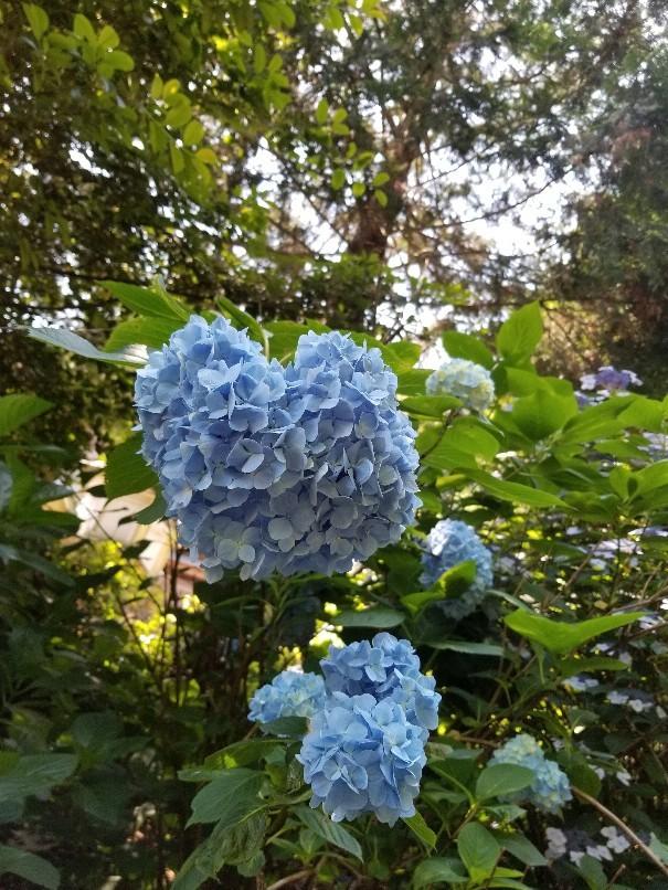 紫陽花の粟井神社へ行..._d0363587_16195197.jpg