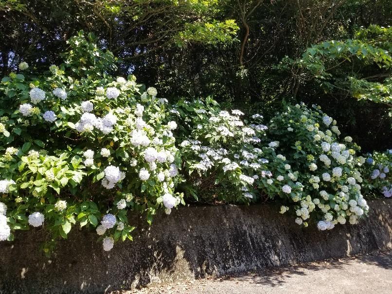 紫陽花の粟井神社へ行..._d0363587_16230254.jpg