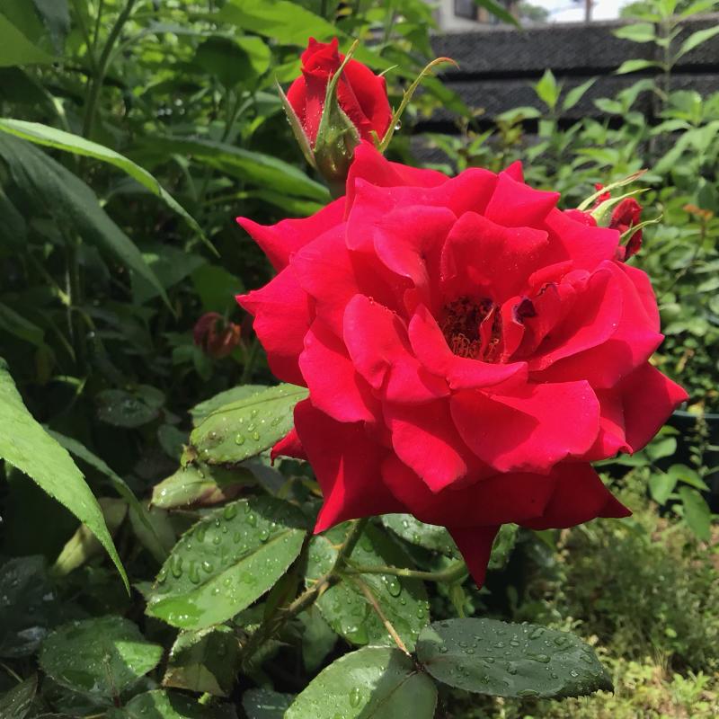 赤バラ白バラそして音楽_c0404712_23011379.jpg