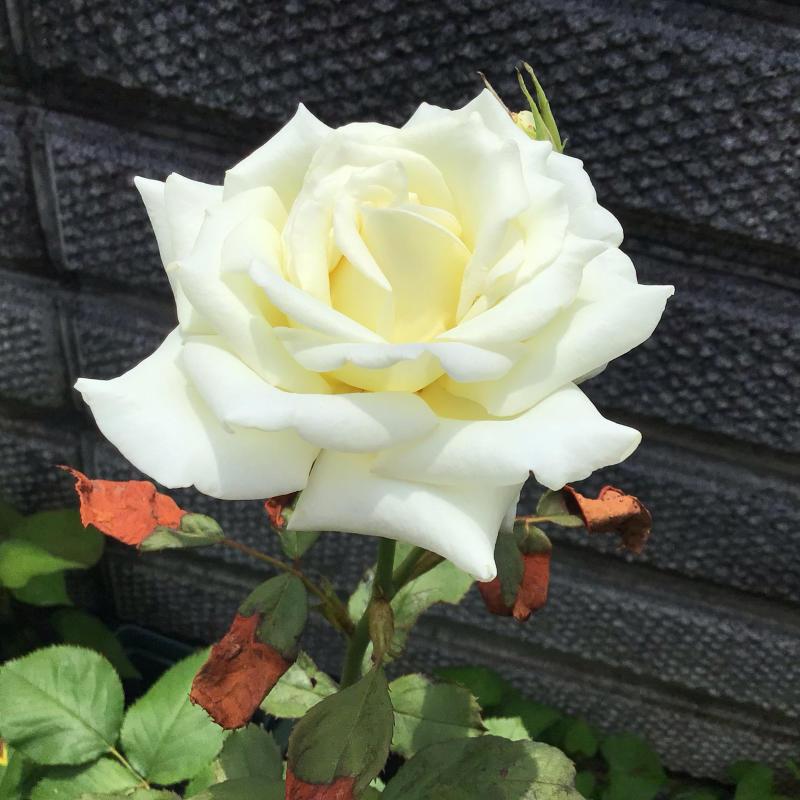 赤バラ白バラそして音楽_c0404712_23014685.jpg