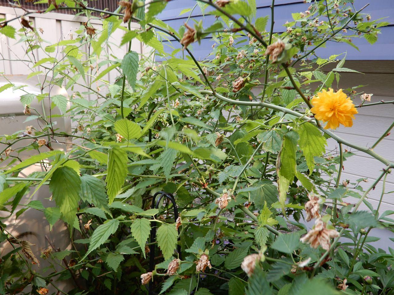 札幌にも東区にも真夏日がやってきた_c0025115_21545414.jpg