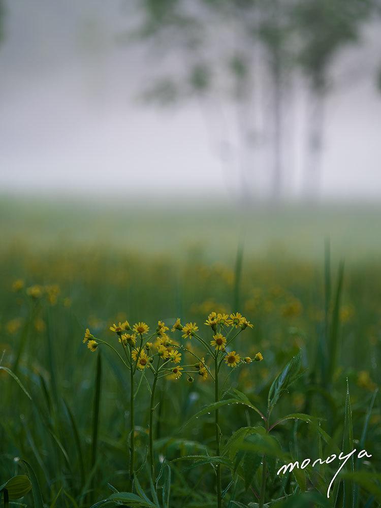 サワオグルマ咲く湿原_c0085877_06311580.jpg