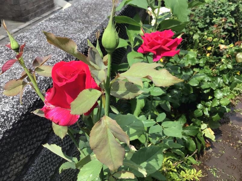 赤バラ白バラそして音楽_c0404712_23261862.jpg