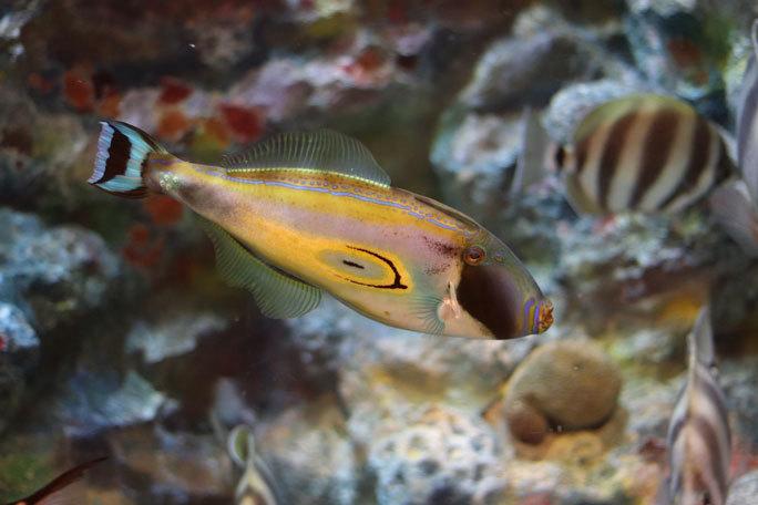 しながわ水族館「珍しい魚たち」②~タスマン海の生物たち、からまるシーポニー(August 2020)_b0355317_21244560.jpg