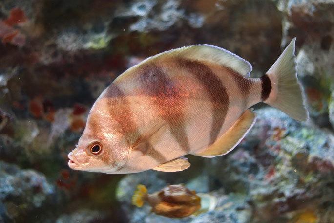 しながわ水族館「珍しい魚たち」②~タスマン海の生物たち、からまるシーポニー(August 2020)_b0355317_21363917.jpg