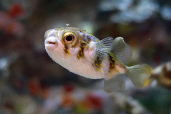 しながわ水族館「珍しい魚たち」②~タスマン海の生物たち、からまるシーポニー(August 2020)_b0355317_21395352.jpg