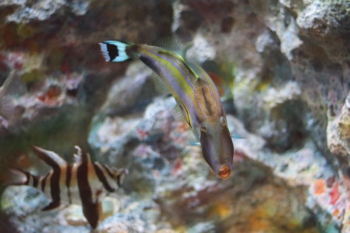 しながわ水族館「珍しい魚たち」②~タスマン海の生物たち、からまるシーポニー(August 2020)_b0355317_21403675.jpg