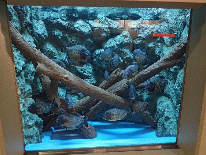 しながわ水族館「珍しい魚たち」②~タスマン海の生物たち、からまるシーポニー(August 2020)_b0355317_21435637.jpg