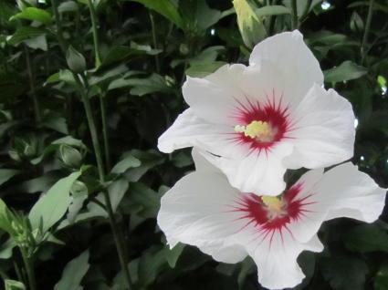 小さな庭の花木_c0220597_14564231.jpg