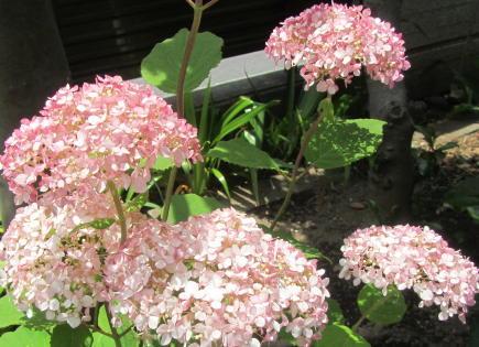 小さな庭の花木_c0220597_15011056.jpg