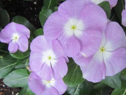 小さな庭の花木_c0220597_15052480.jpg