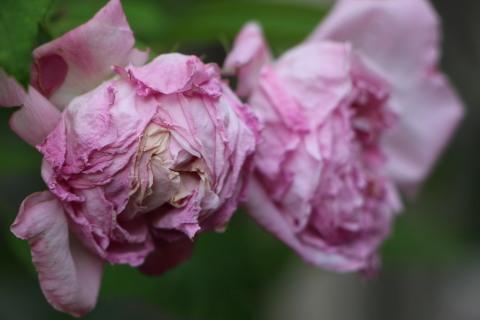 梅雨入り間近のバラ庭_a0248709_22465908.jpg