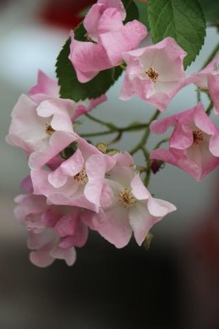 梅雨入り間近のバラ庭_a0248709_22470752.jpg