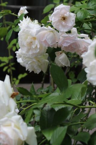 梅雨入り間近のバラ庭_a0248709_22473837.jpg