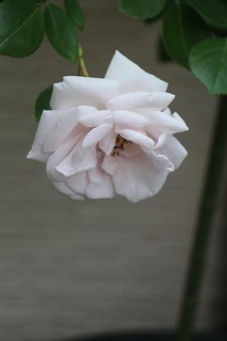 梅雨入り間近のバラ庭_a0248709_23011198.jpg