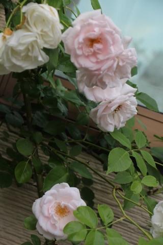 梅雨入り間近のバラ庭_a0248709_23013340.jpg