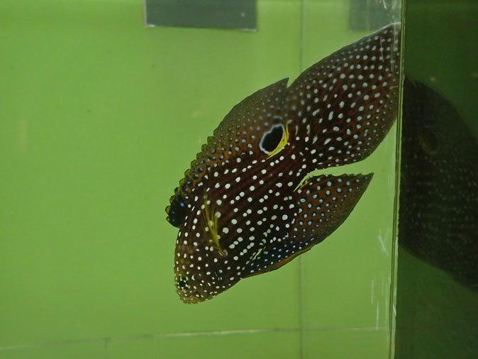 しながわ水族館「珍しい魚たち」③~タイガーテールシーホースとカワテブクロ(August 2020)_b0355317_13500999.jpg