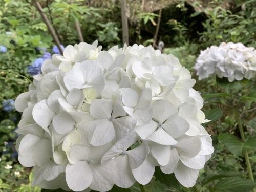 5月の庭の紫陽花_d0336460_06022127.jpeg