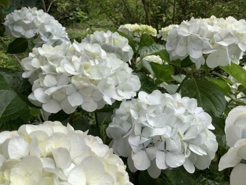 5月の庭の紫陽花_d0336460_06032512.jpeg