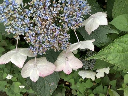 5月の庭の紫陽花_d0336460_06042235.jpeg