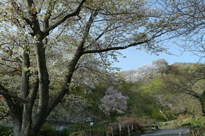筑波山の桜_a0120774_21045377.jpg