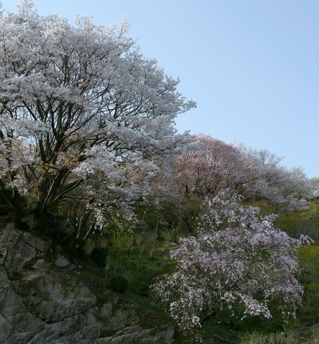 筑波山の桜_a0120774_21051881.jpg