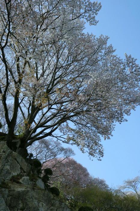 筑波山の桜_a0120774_21055399.jpg