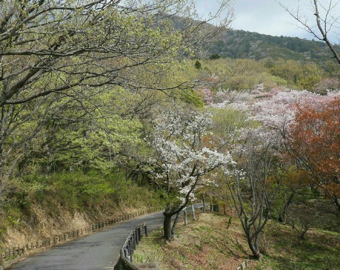 筑波山の桜_a0120774_21064139.jpg