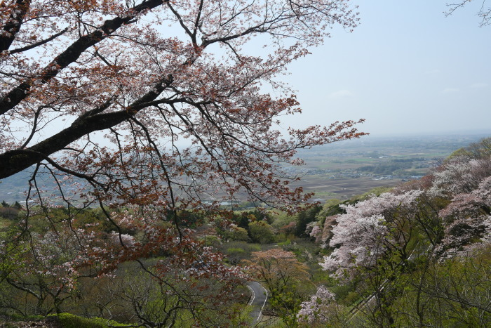 筑波山の桜_a0120774_21072826.jpg