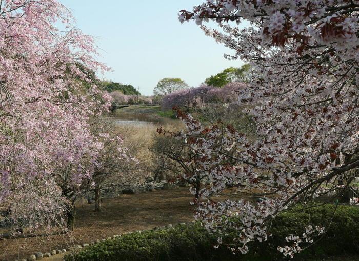 常陸風土記の丘の桜_a0120774_21083381.jpg