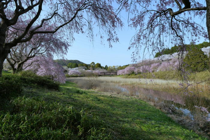 常陸風土記の丘の桜_a0120774_21090792.jpg