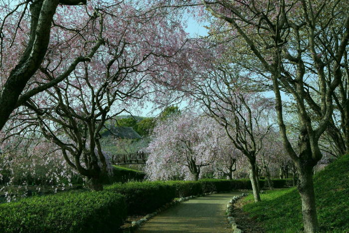 常陸風土記の丘の桜_a0120774_21092747.jpg