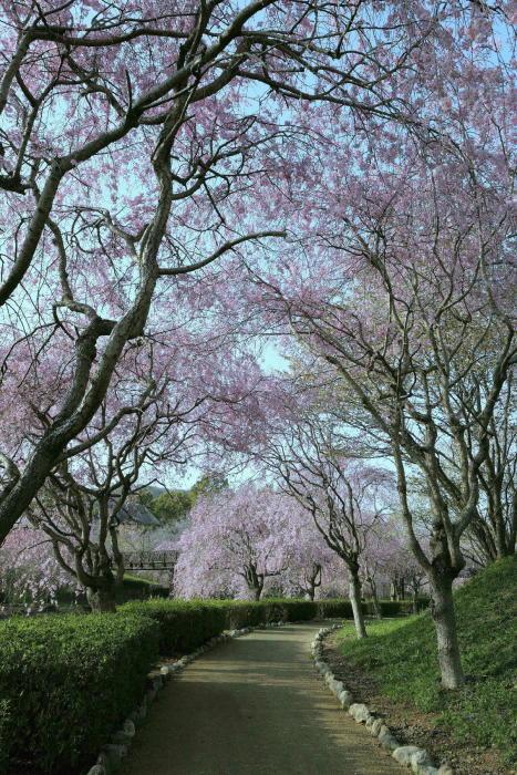 常陸風土記の丘の桜_a0120774_21094274.jpg
