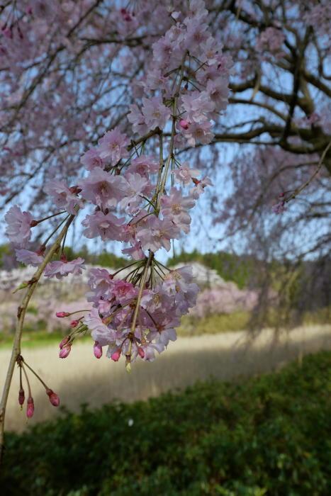 常陸風土記の丘の桜_a0120774_21100263.jpg