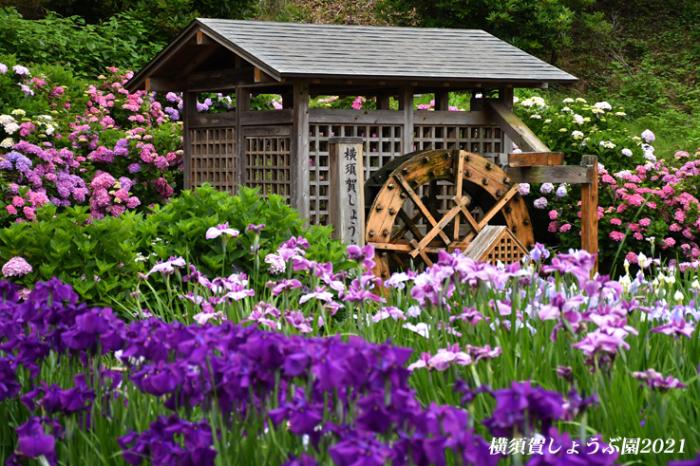 14万株が咲き競う『横須賀しょうぶ園 2021』_d0251161_17134609.jpg