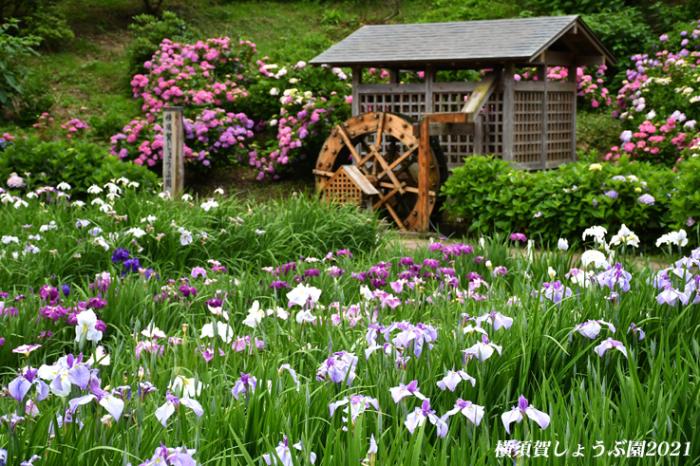 14万株が咲き競う『横須賀しょうぶ園 2021』_d0251161_17151022.jpg
