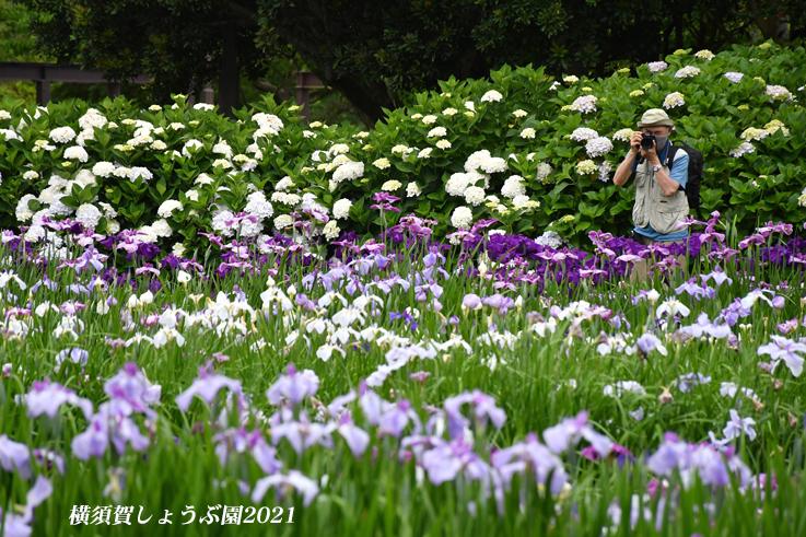14万株が咲き競う『横須賀しょうぶ園 2021』_d0251161_17162733.jpg