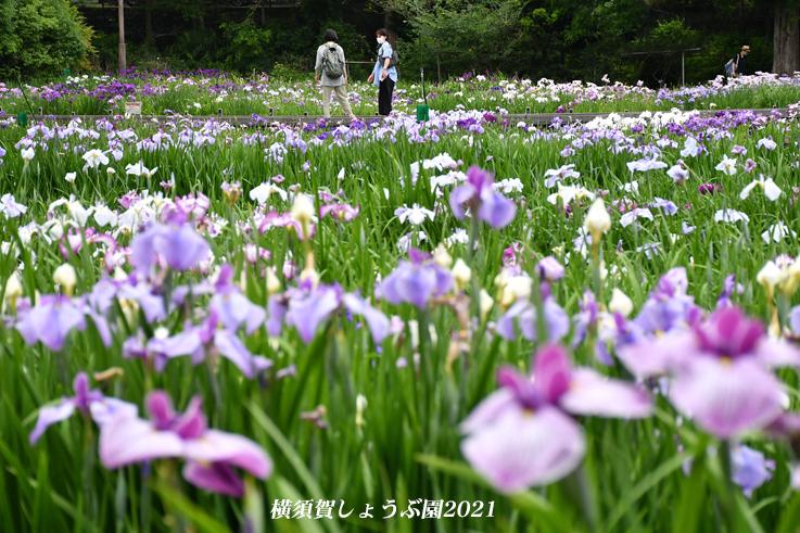 14万株が咲き競う『横須賀しょうぶ園 2021』_d0251161_17180108.jpg