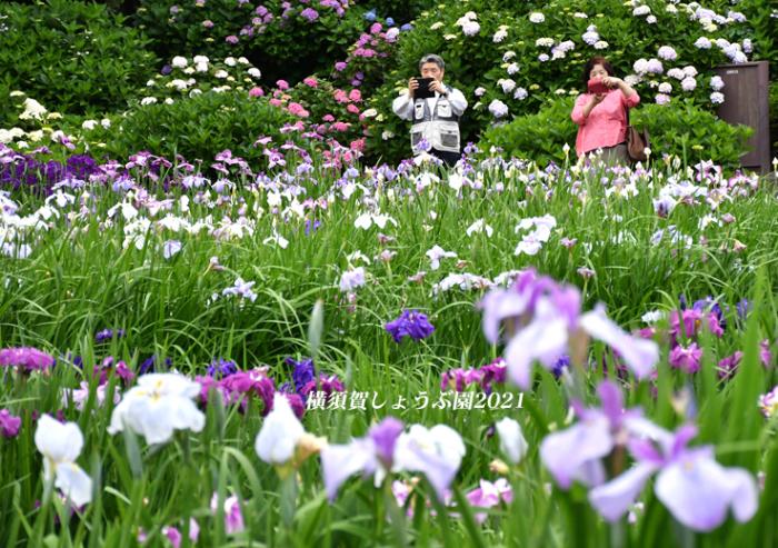 14万株が咲き競う『横須賀しょうぶ園 2021』_d0251161_17211314.jpg
