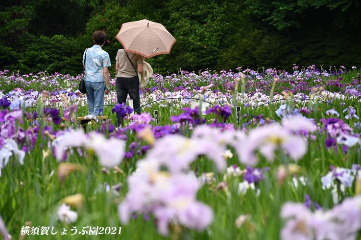 14万株が咲き競う『横須賀しょうぶ園 2021』_d0251161_17250566.jpg