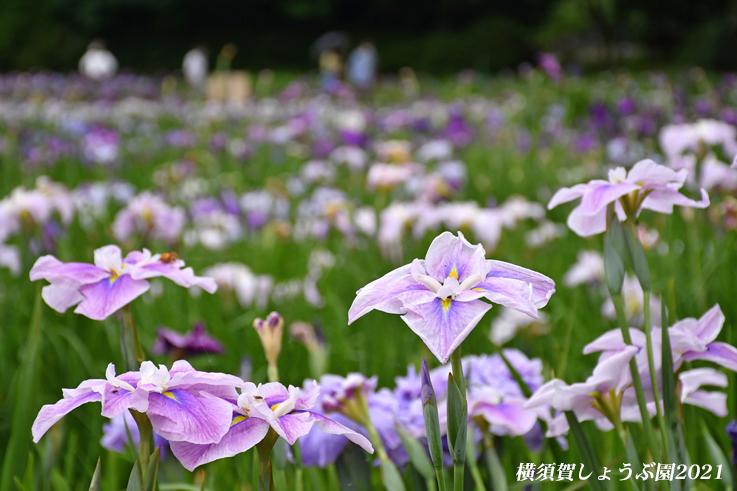 14万株が咲き競う『横須賀しょうぶ園 2021』_d0251161_17253555.jpg