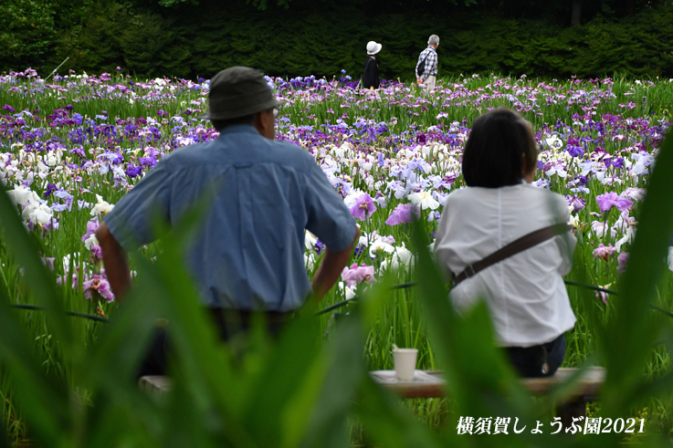 14万株が咲き競う『横須賀しょうぶ園 2021』_d0251161_17260383.jpg