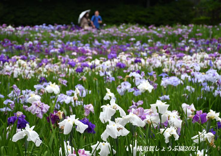 14万株が咲き競う『横須賀しょうぶ園 2021』_d0251161_17263407.jpg
