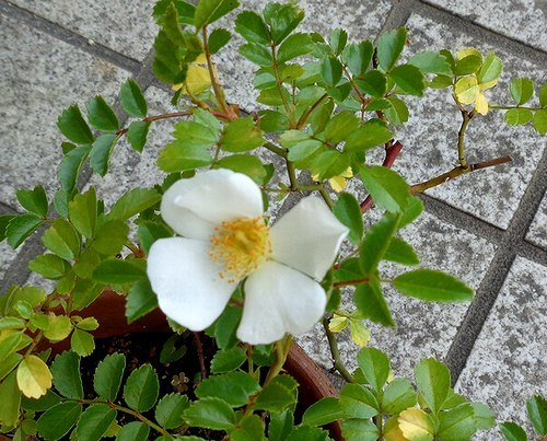 路傍の花、樹々の鳥(414) ~ 蒸し暑さをこらえて ~_b0102572_18161987.jpg