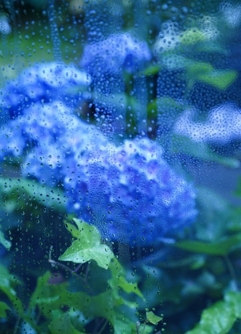 梅雨入り ~紫陽花~_c0188784_18323861.jpg